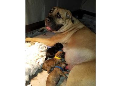 cara-nursing-puppies-5